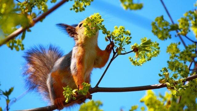 Белочка нюхает цветы на дереве