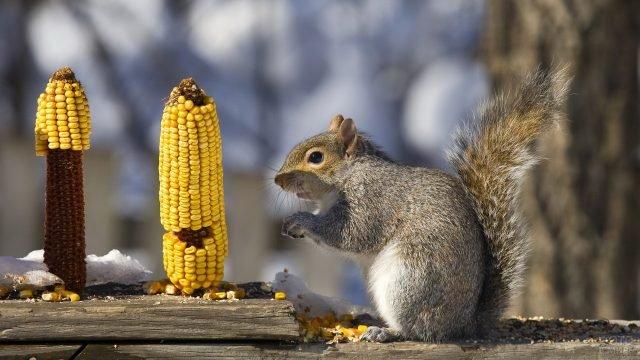 Белочка объедает початок кукурузы