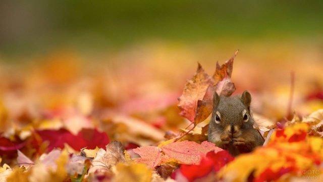 Белочка выглядывает из осенних опавших листьев