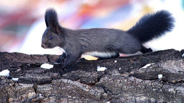 Серая белка ползёт по дереву