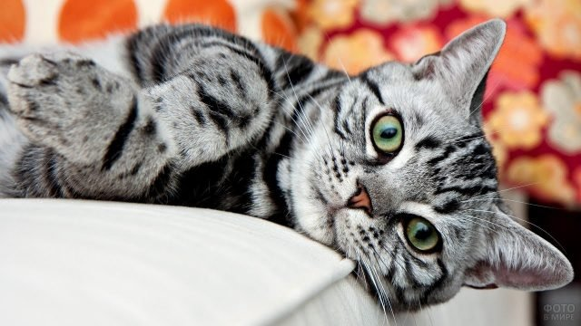 Американская короткошёрстная кошка улеглась на диване и смотрит в кадр