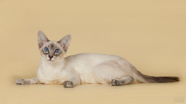 Балинезийская кошка лежит в свободной позе