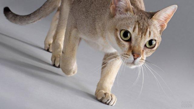Бразильская короткошёрстная кошка идёт прямо на камеру