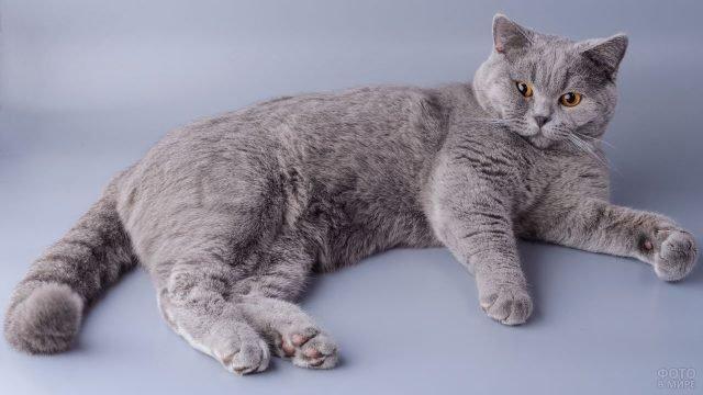 Британская короткошёрстная кошка лежит в вольготной позе