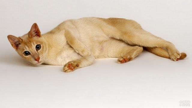 Цейлонская кошка завалилась на бочок