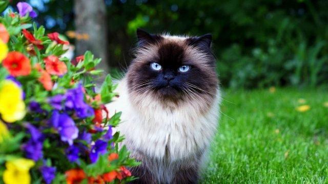 Гималайская кошка гуляет по цветочному саду