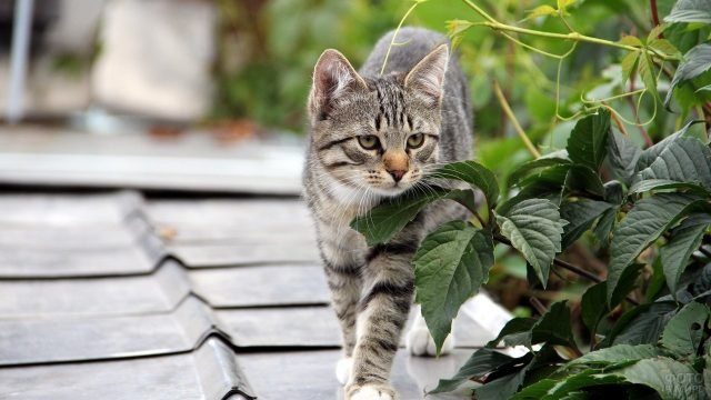 Калифорнийская сияющая кошка идёт по черепице
