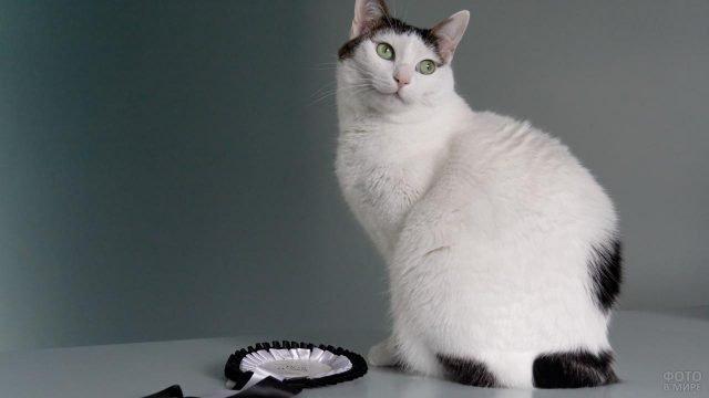 Кошечка породы японский бобтейл с укороченном хвостом