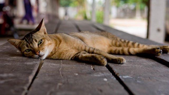 Котейка породы Сококе отдыхает на деревянном настиле