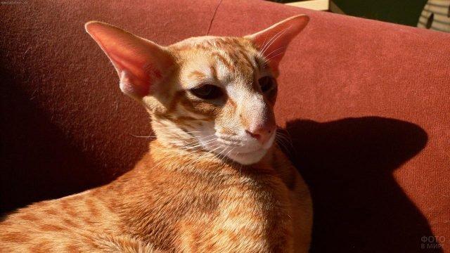 Котик породы Яванская кошка
