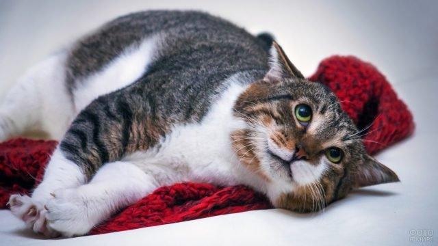 Котик породы Эгейская кошка лежит на красном пледе подняв глазки вверх