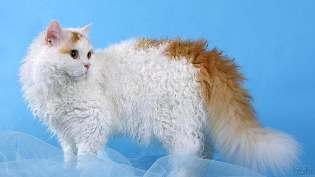 Лаперм кудрявая порода кошки