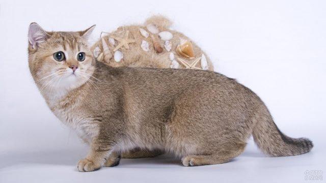 Манчкин кот на коротких лапках