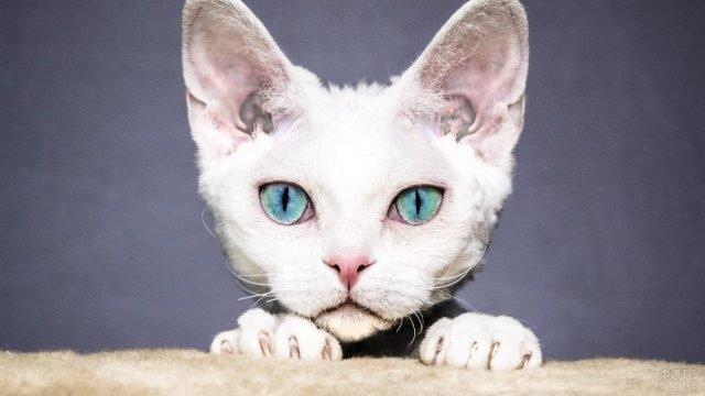 Морда кошки породы Немецкий рекс
