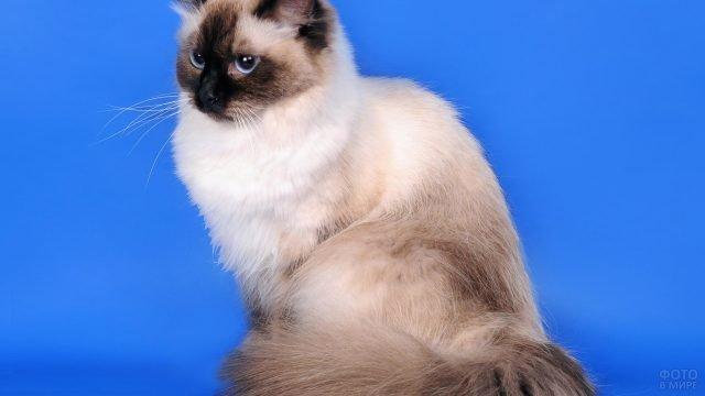 Невская маскарадная кошка смотрит строгим взглядом