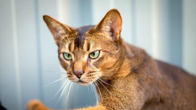 Ориентальная короткошёрстная кошка красивого рыжего цвета