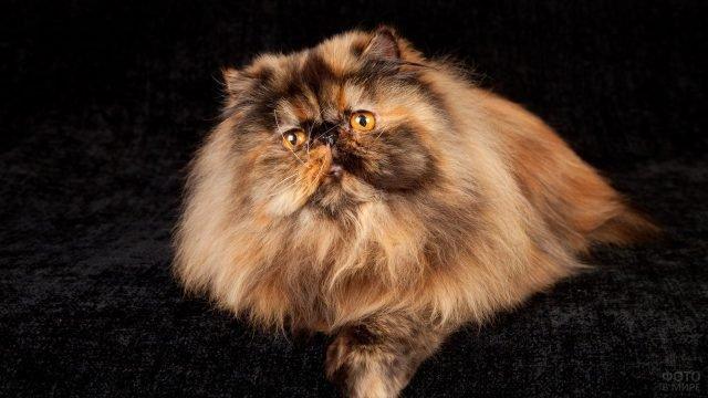 Персидская кошка сидит на чёрном диване