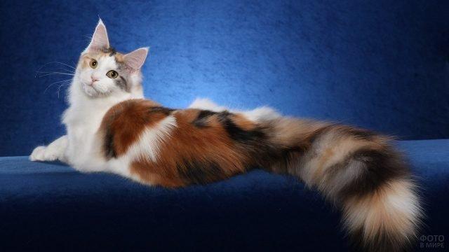Рагамаффин кот с шикарным хвостом