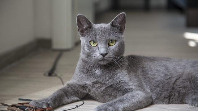 Русская голубая кошка улеглась на полу