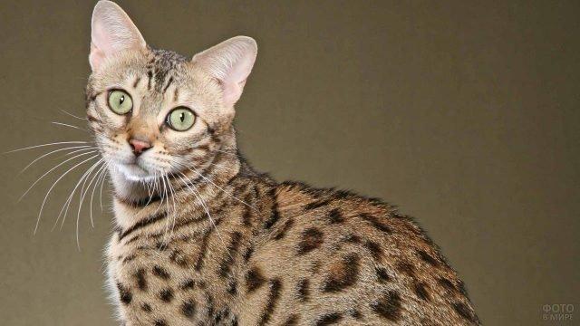 Сафари порода кошки расцветки леопарда