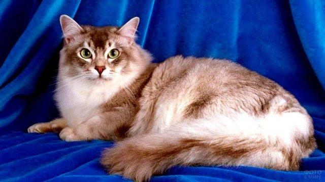 Шантильи Тиффани кошечка разлеглась на синем пледе