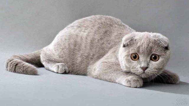 Шотландская вислоухая кошка (Скоттиш-фолд) положил мордочку на лапки