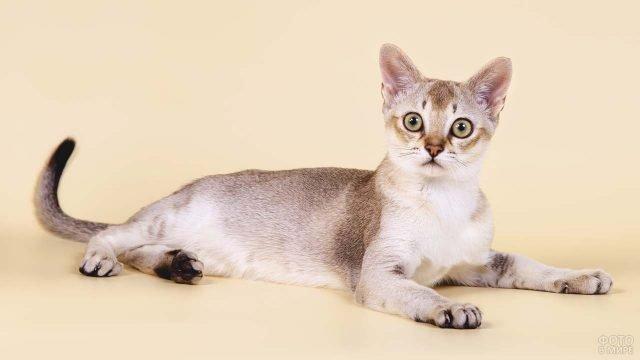 Сингапурская кошка лежит на полу подняв вверх хвост