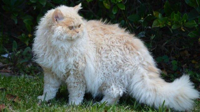 Скукум кудрявый кот гуляет на природе