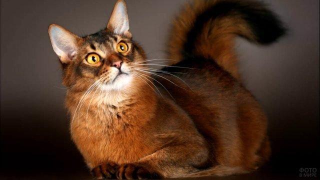 Сомалийская кошка смотрит с любопытством во взгляде