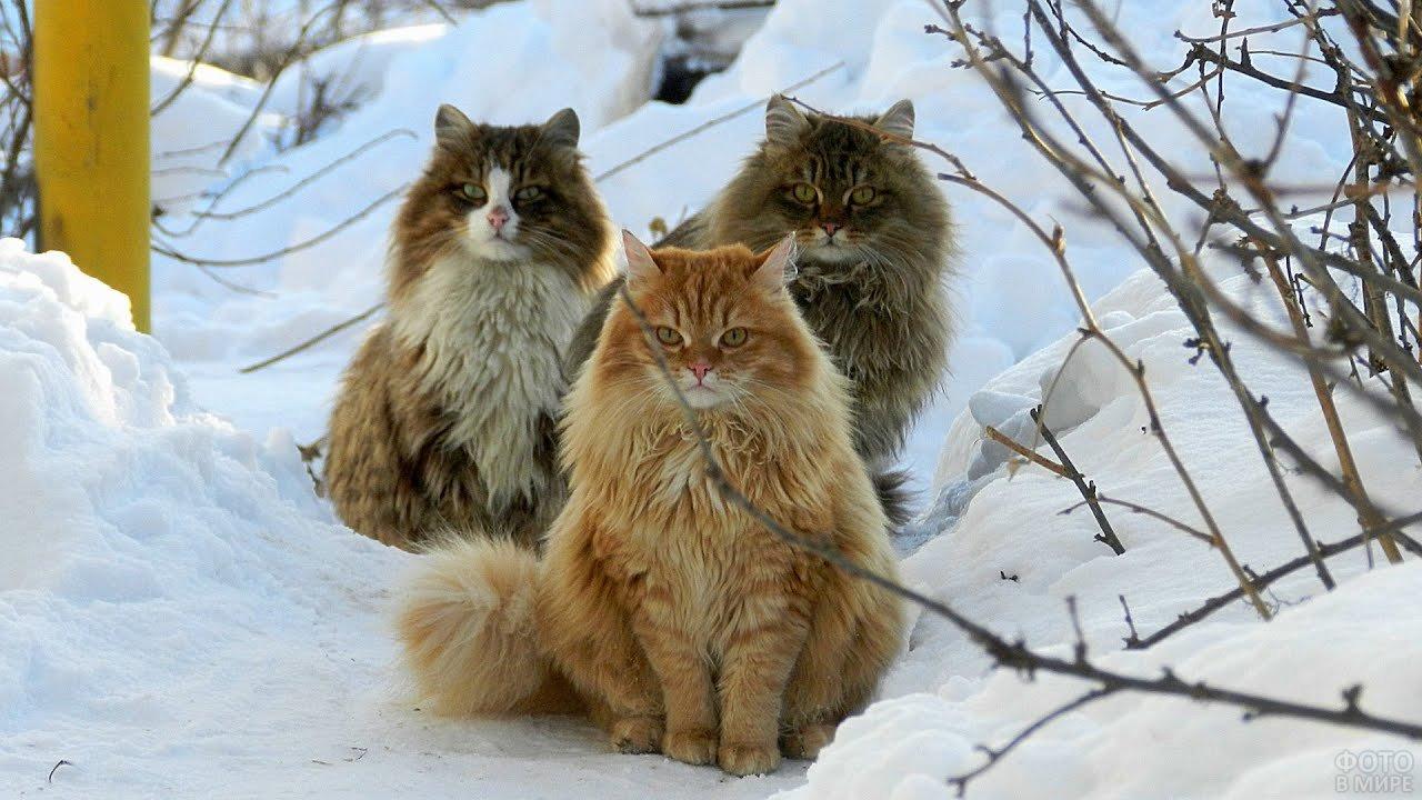 Три кота породы Сибирская кошка