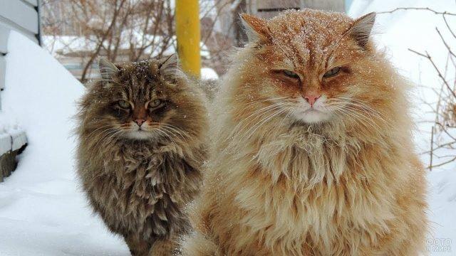 Двух сибирских котиков припорошило снежком
