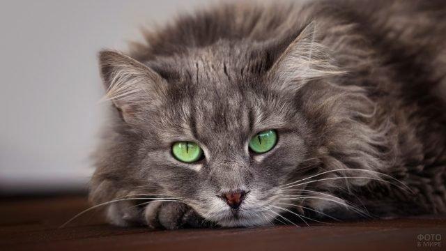 Дымчатая сибирская кошка лежит на полу подложив лапки под голову