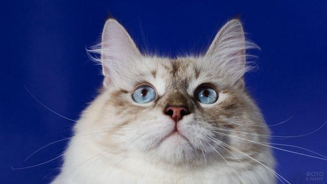 Голубоглазая сибирячка на синем фоне