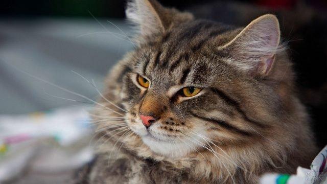Холёный сибирский кот с довольной мордой