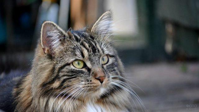 Кошачий портрет сибирской кошки
