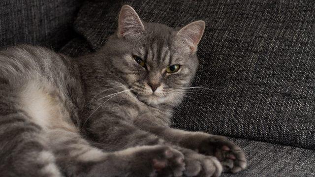 Котейка серого цвета отдыхает на сером диване
