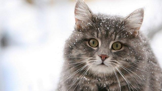 Котёночка сибирской кошки припорошило снежком