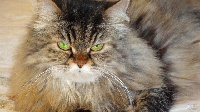 Красивая мордаха сибирской кошки