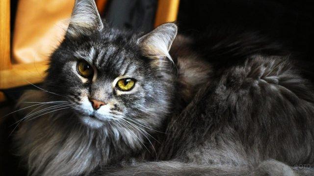 Красотуля породы сибирская кошка игриво смотрит в кадр