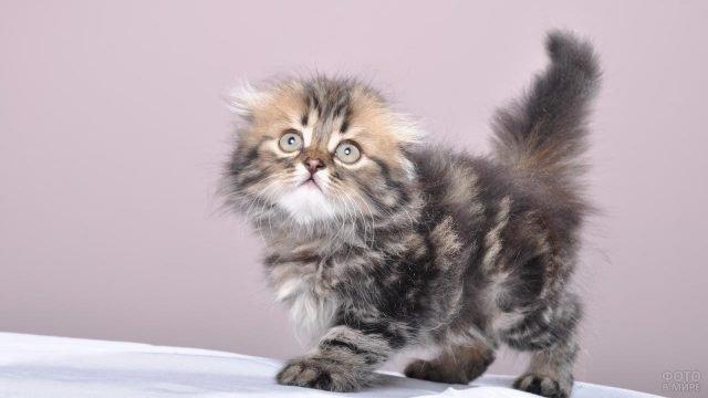 Маленький котёночек сибирской кошечки
