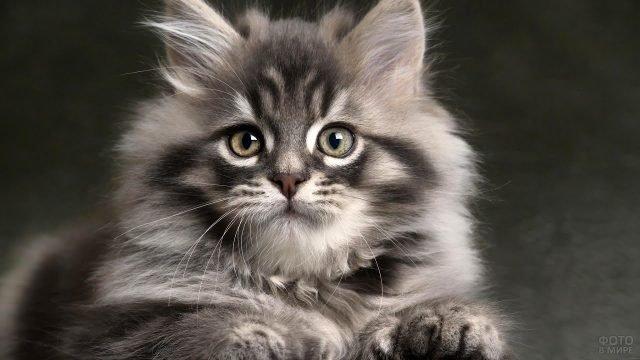 Милый котёночек сибирской кошки