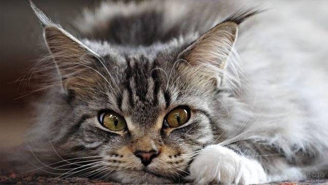 Молодая сибирская кошечка