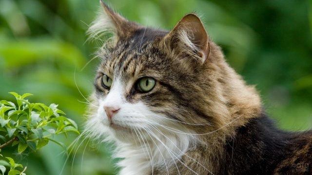 Морда сибирского кота на зелёном фоне