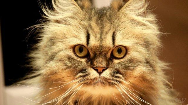 Мордашка котёнка сибирской породы