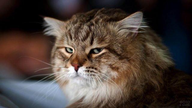 Недовольный сибирский кот