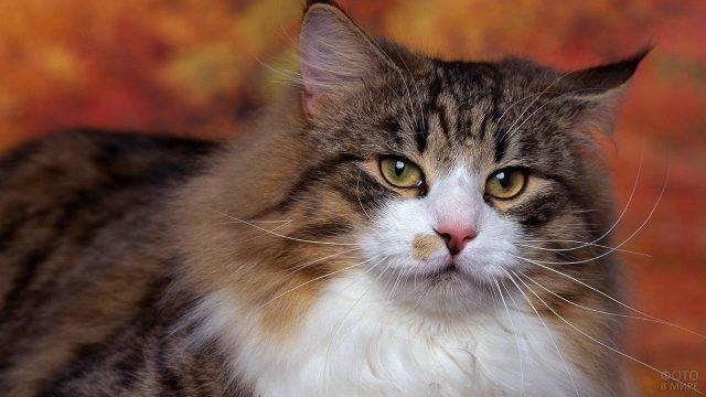 Пушистая сибирская кошка на персиковом фоне