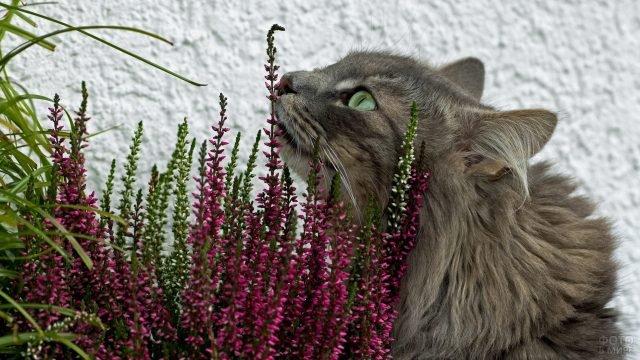 Сибирская киса нюхает цветы