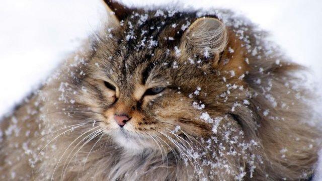 Сибирская киска вся в снегу