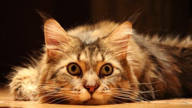 Сибирская кошечка с мечтающим взглядом