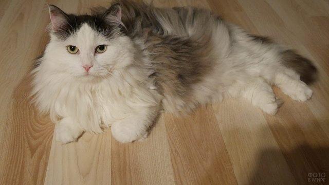 Сибирская кошка отдыхает на полу дома